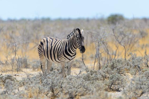 Zebra selvaggia che cammina nella fine africana della savanna su