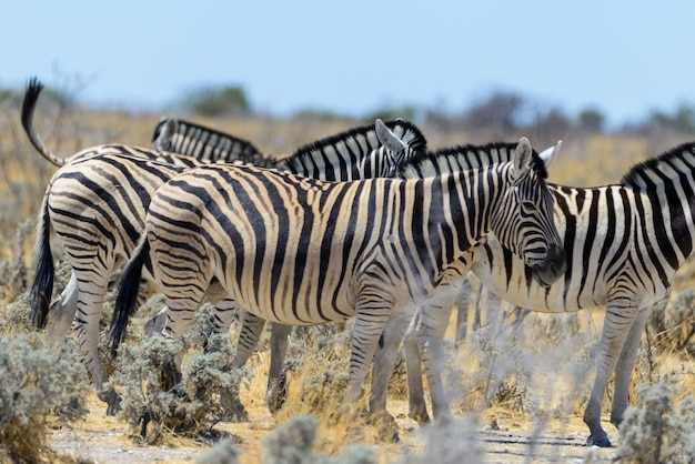 Zebre selvagge che camminano nella savana africana