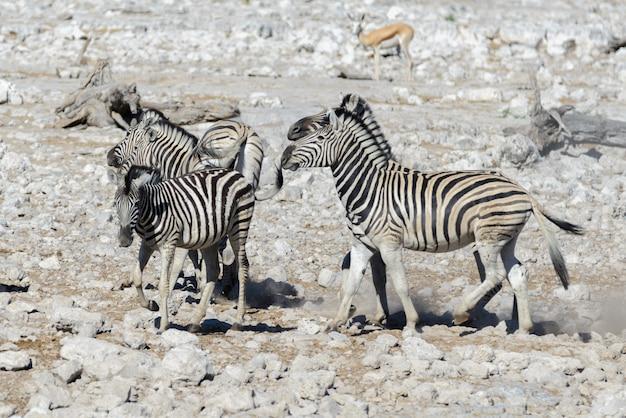 Zebre selvagge su pozza d'acqua nella savana africana
