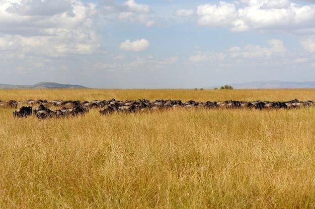 Gnu nel parco nazionale del kenya