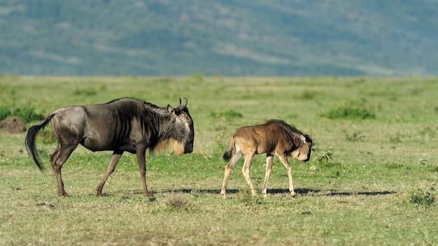 Gnu nella riserva nazionale dell'africa, kenya