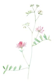 Acquerello disegnato a mano di fiori selvaggi isolato su priorità bassa bianca. fiore di campo di erbe botaniche dipinto a mano.