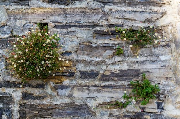 Fiori di campo su un vecchio muro in una casa di pietra in una strada a varenna una piccola cittadina sul lago di como italia