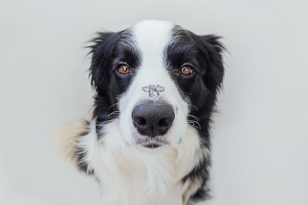 Vuoi sposarmi. divertente ritratto di carino cucciolo di cane border collie tenendo l'anello di nozze sul naso isolato su bianco