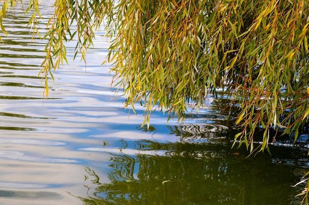 Rami di salice con foglie d'autunno sul fiume. riflesso nell'acqua delle foglie di salice