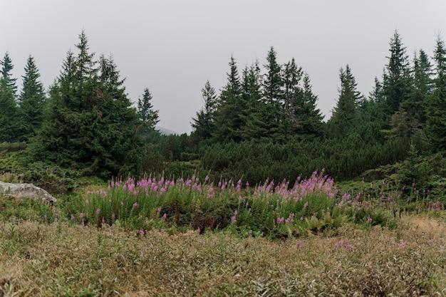 Erba di salice nelle montagne dei karpathians