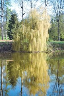 Salice sul fiume in primavera con filtro