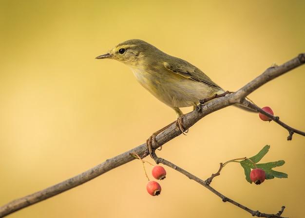 Willow warbler ramo di uccello caldo