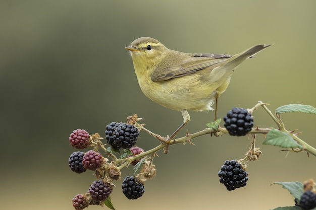 Willow warbler uccello appollaiato su un ramo con bacche su un ambiente sfocato