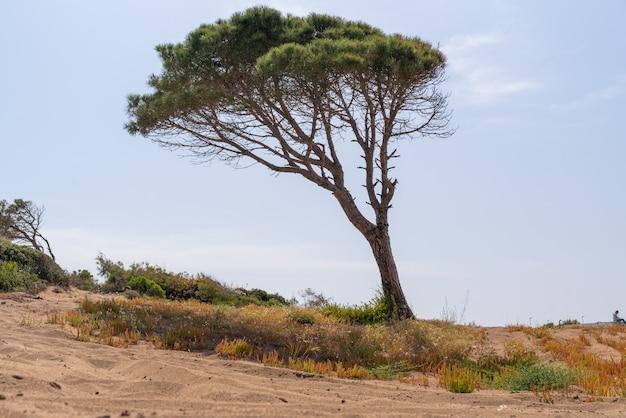Pino soffiato dal vento con tronco inclinato di lato