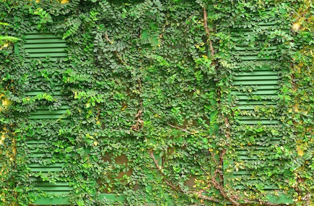 Finestra di una casa ricoperta di edera