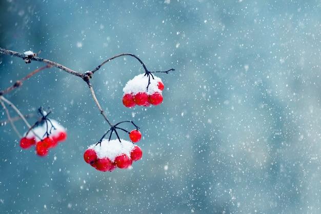 Sfondo invernale con bacche rosse di viburno durante la nevicata