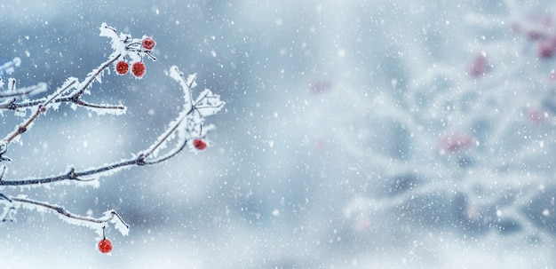Sfondo natalizio invernale con bacche rosse di viburno sul cespuglio durante una nevicata, panorama
