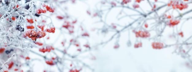 Sfondo natalizio invernale con bacche rosse di viburno su sfondo chiaro durante una nevicata, panorama