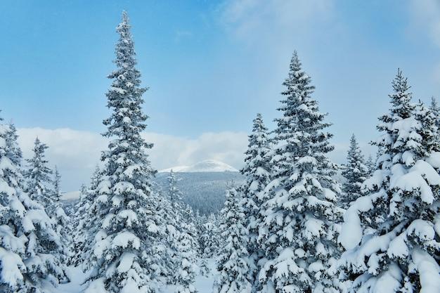 Foresta invernale in montagna, tutta coperta di neve, gelida mattina. pino e abete rosso congelati.