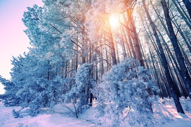 Foresta invernale in una giornata di sole. alti pini coperti di neve