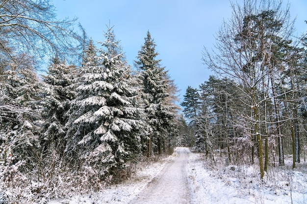Foresta invernale nelle alpi sveve, germania