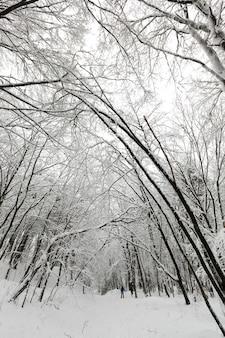 Foresta invernale con alberi coperti di neve bianca