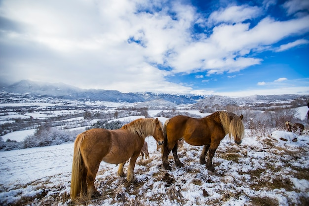 Cavalli invernali su una montagna