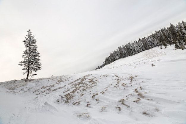 Paesaggio invernale. pino alto da solo sul pendio della montagna in una fredda giornata di sole su sfondo spazio copia di cielo blu e foresta di abeti rossi.