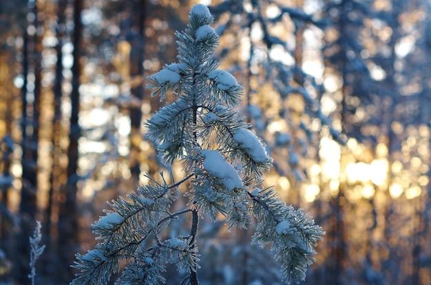 Paesaggio invernale con pineta e tramonto