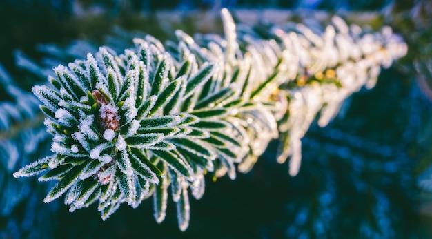 Fotografia macro invernale di un ramo di abete rosso in cristalli di ghiaccio