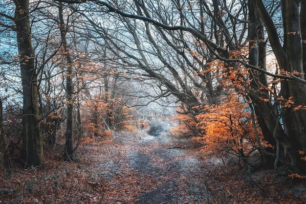 Percorso invernale nella foresta scozzese, sugli alberi un fogliame luminoso prosciugato, glasgow, regno unito