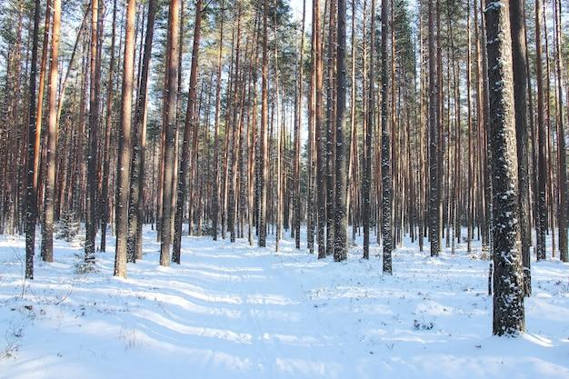 Pineta invernale in una giornata di sole e sentiero innevato con ombre di alberi