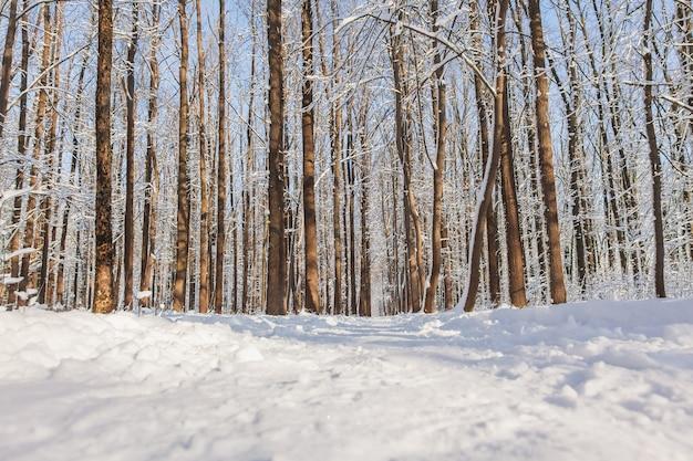 Pineta invernale con neve sugli alberi e sul pavimento in una giornata di sole.