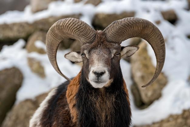 Ritratto di inverno di grande animale muflone. muflone, ovis orientalis, animale cornuto della foresta nell'habitat naturale