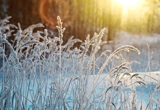 Scena invernale. fiore congelato. pineta e tramonto