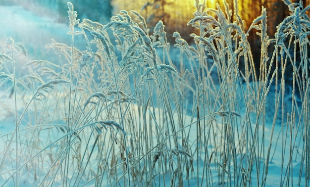 Scena invernale .fiore congelato .pineta e tramonto