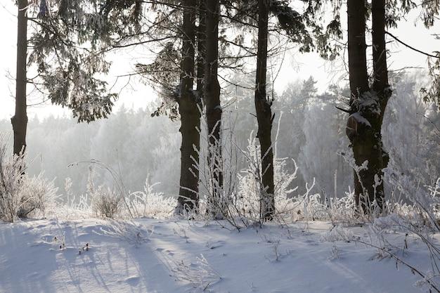 Stagione invernale nella foresta, abete rosso sempreverde e pino con aghi ricoperti di neve e gelo in natura