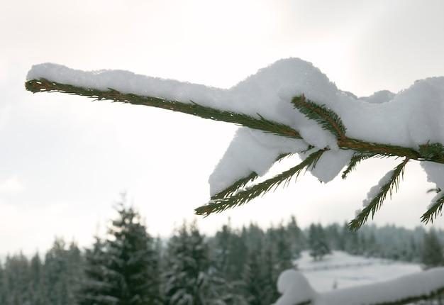 Ramoscello di abete rannicchiato sulla neve invernale sullo sfondo del paesaggio di montagna