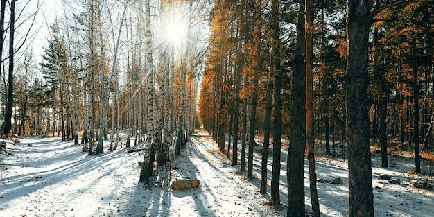 Foresta di neve invernale di betulle e pini, i raggi del sole irrompono tra gli alberi.