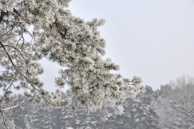 I rami di abete innevato di inverno si chiudono su. concetto di natale