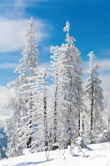 Abeti innevati invernali sul fianco di una montagna sullo sfondo del cielo blu
