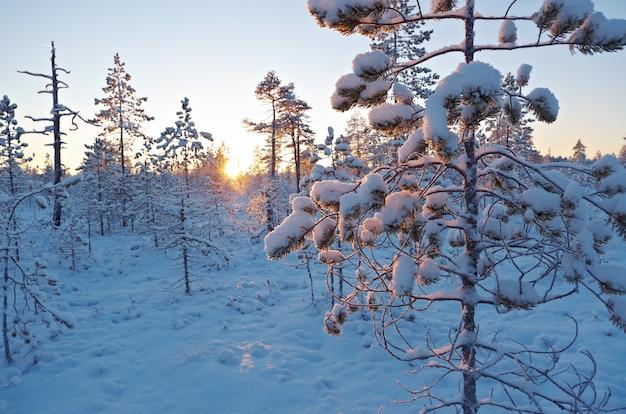 Foresta innevata d'inverno al tramonto. bellissimo paesaggio natalizio