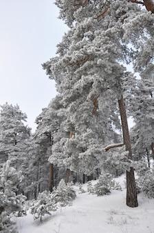 Bosco innevato invernale con rami di abete innevato. concetto di natale