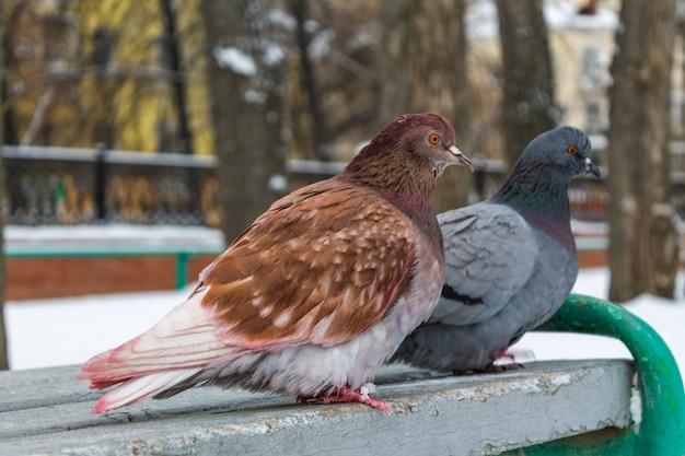 In inverno, due piccioni di diversi colori sono seduti su una panchina grigia