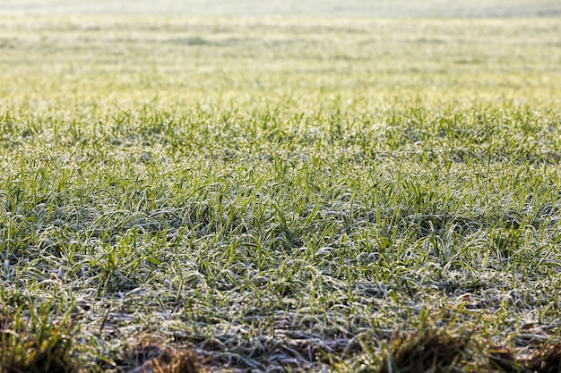 Tempo invernale in un campo agricolo dove vengono coltivati cereali invernali, piccole piante durante le gelate