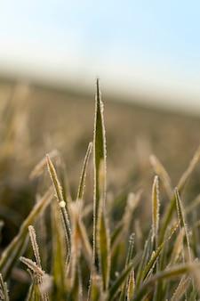 Grano invernale ricoperto di cristalli di ghiaccio e brina in inverno, sul campo agricolo di giorno