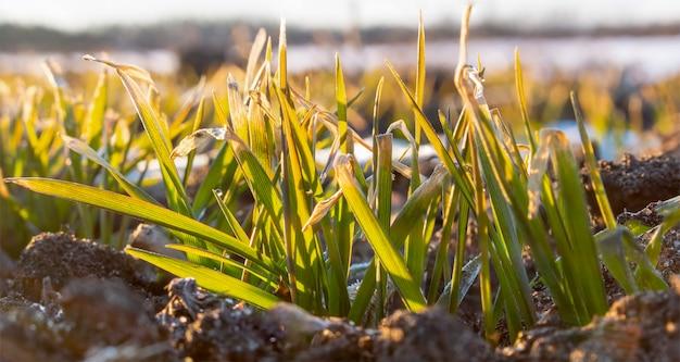 Le foglie di grano invernale sono congelate dal forte gelo. colture di cereali ingiallite. sole mattutino primaverile.