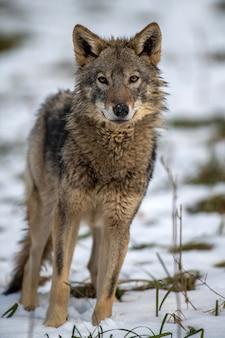 Lupo nella foresta da vicino. scena della fauna selvatica dalla natura invernale. animale selvatico nell'habitat naturale