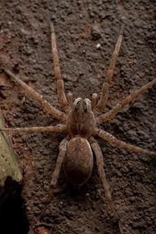 Wolf spider della famiglia lycosidae