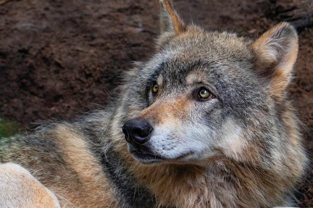 Il lupo che fissa la sua preda