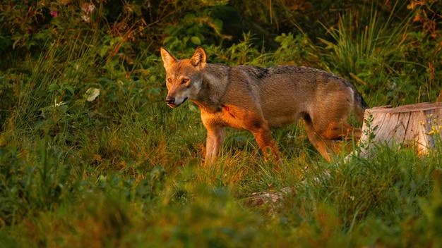 Lupo che cammina nel bosco in estate sole serale