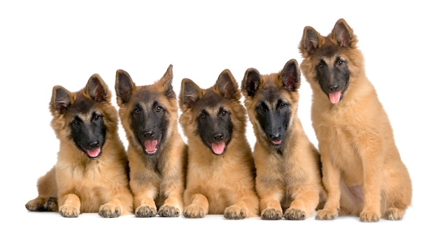 Wolfpack di cinque cuccioli belgi tervuren