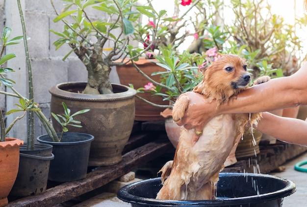 La donna sta bagnando il cane per il cane pomeranian, bello piccolo cane