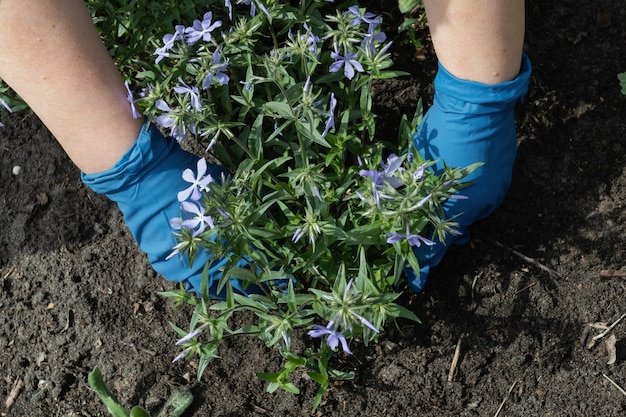 La donna in guanti blu sta piantando fiori da giardino